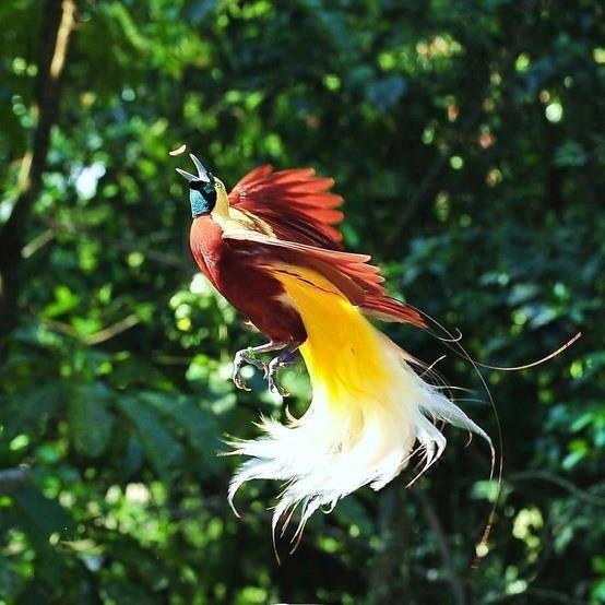 vogel papua
