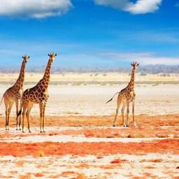 Giraffen Namibia